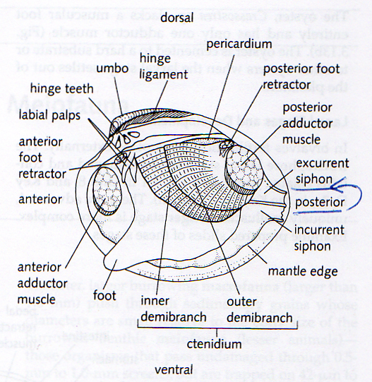 Internal Diagram Of A Clam - Auto Wiring Diagram Today •